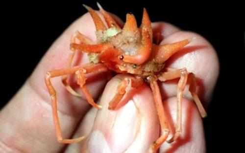 Scoperte dodici nuove specie di crostacei nell'oceano Indiano