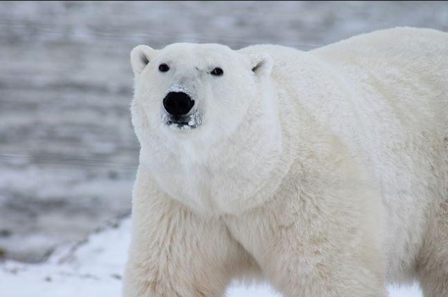 Orso polare attacca gruppo di turisti, ucciso da un addetto alla sicurezza