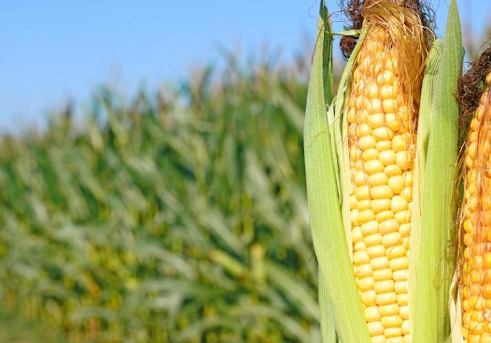 Cambiamenti climatici, coltivazioni di mais in Italia a rischio