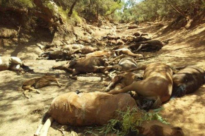 Australia: il caldo record fa strage di cavalli