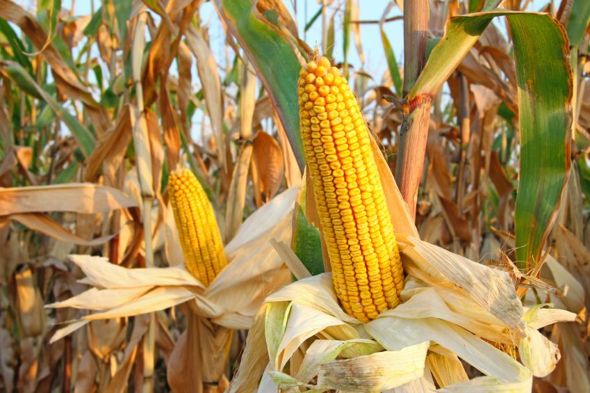 Salute: gli OGM fanno bene, lo studio italiano