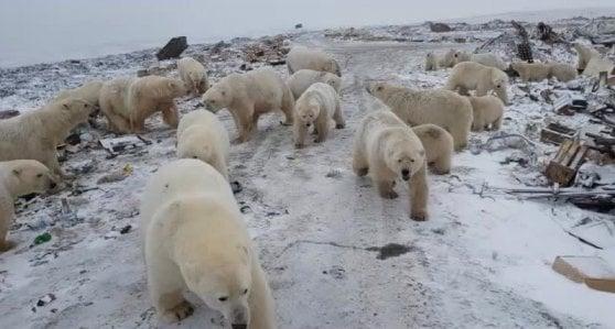 Orsi polari invadono le città: emergenza in Siberia