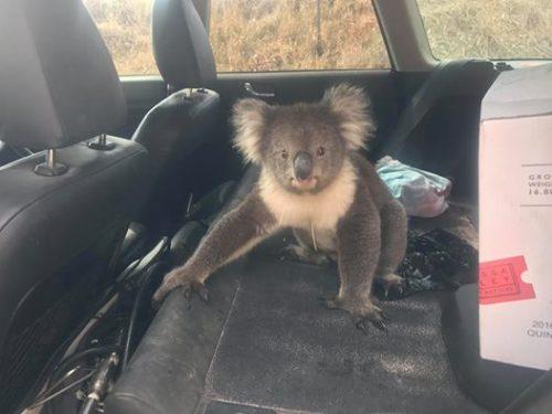 Koala accaldato 'si infila' in auto con aria condizionata. Il video