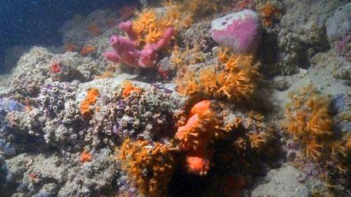 Scogliera corallina in Puglia. L'incredibile scoperta