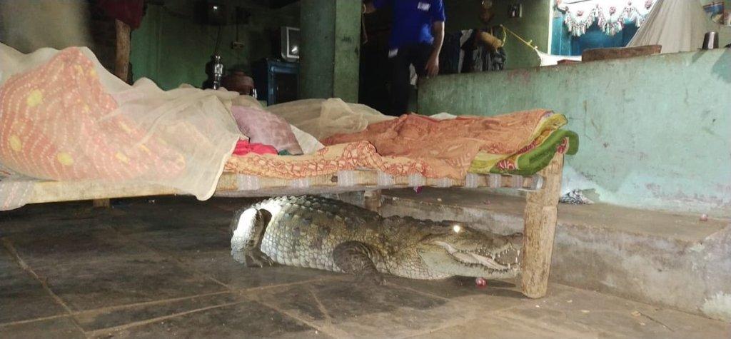 India: agricoltore trova enorme coccodrillo sotto il letto. Le immagini