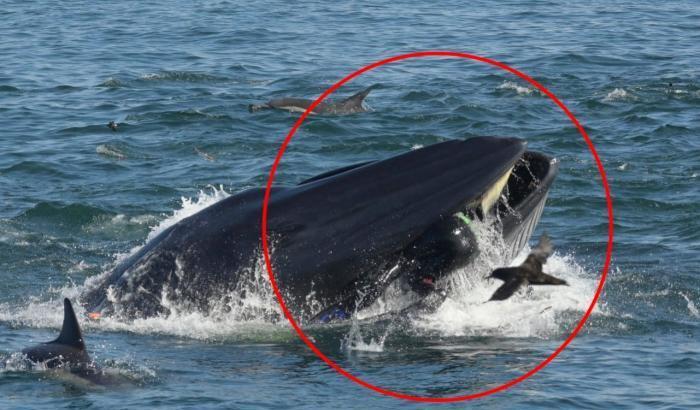 Ingoiato da una balena: viene risputato fuori, illeso