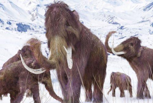 Mammut: risvegliate le cellule di un esemplare di 28mila anni fa