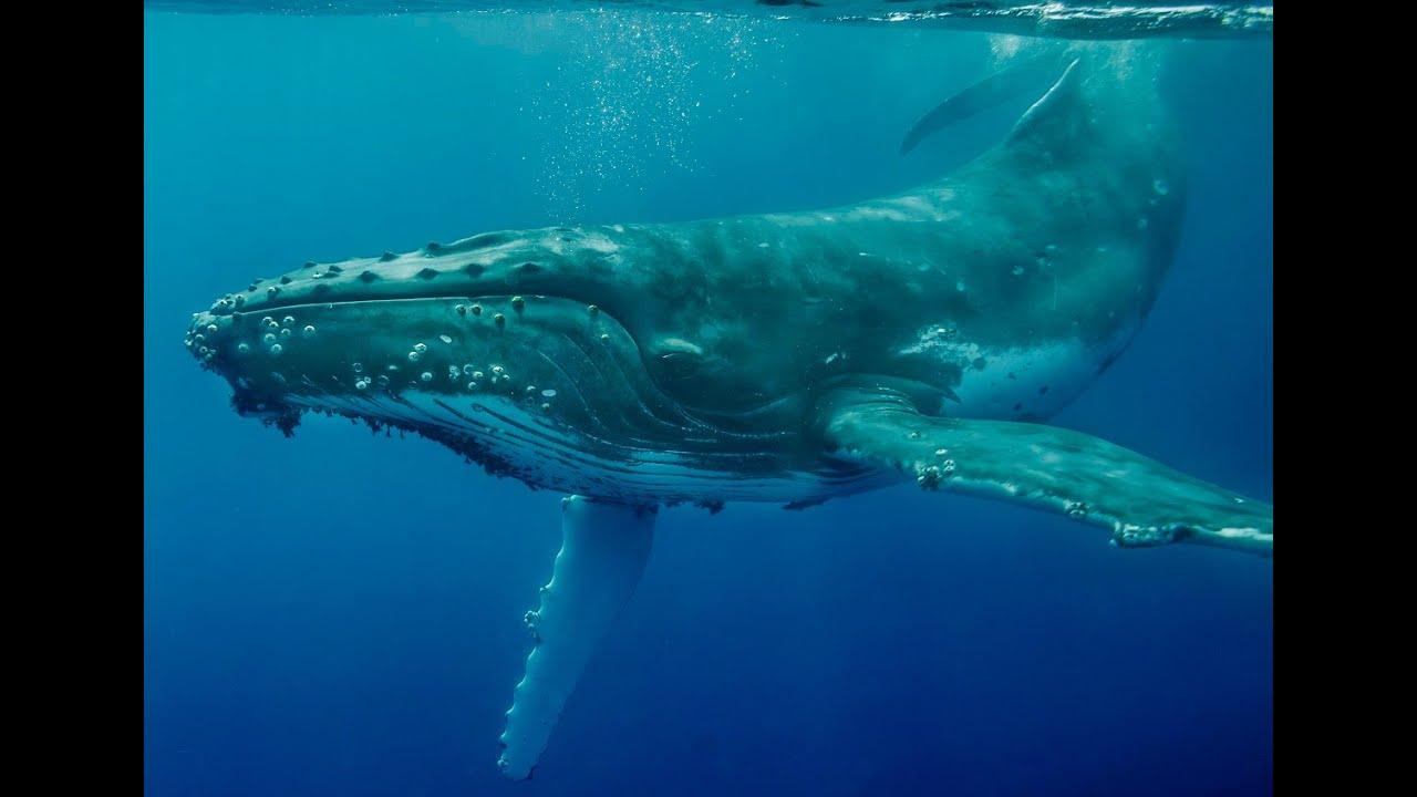 Megattera nel Golfo di Napoli: le spettacolari immagini