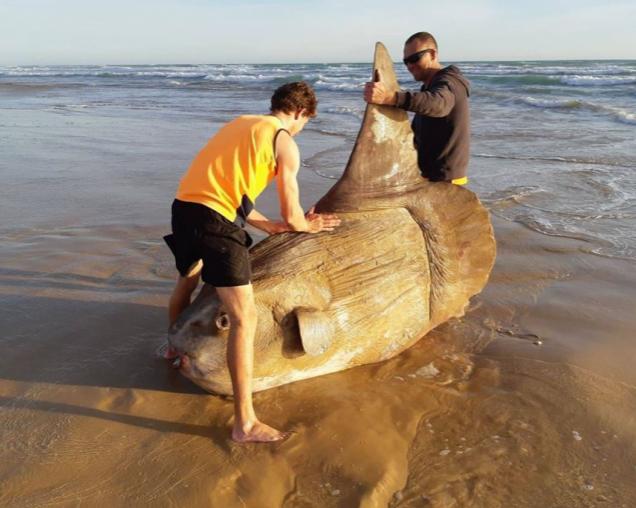 Australia: enorme pesce luna si arena sulla spiaggia. Le foto