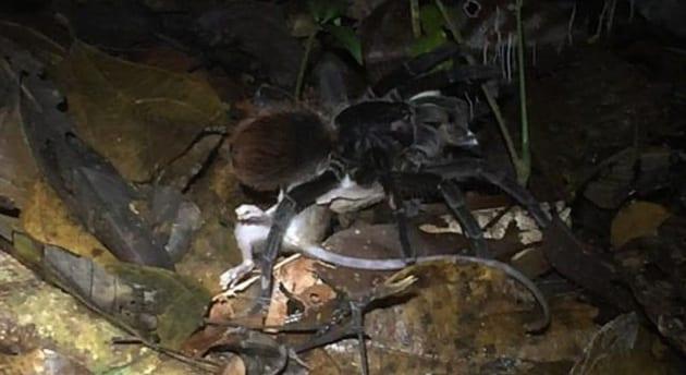 Tarantola cattura e uccide un opossum, le incredibili immagini