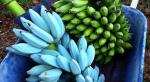Banana blu di Java, il frutto al gusto di vaniglia