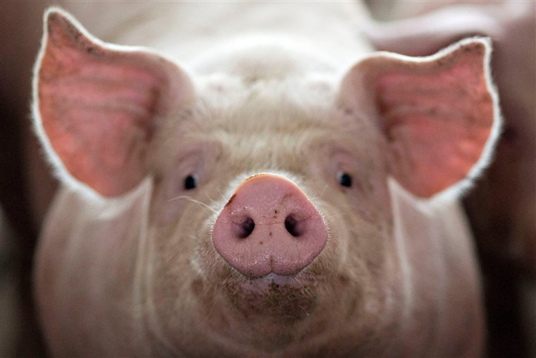Cervello di maiale 'riattivato' quattro ore dopo la morte: la ricerca