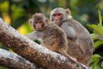 Iniettano DNA umano in cervello di macachi: i risultati sulla loro intelligenza