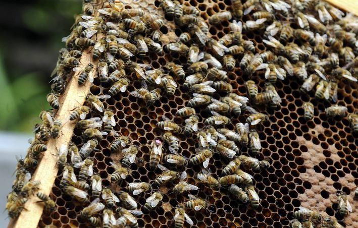 """Moria di api in Messico, 1600 milioni morte in quattro anni: """"Un fenomeno difficile da fermare"""""""