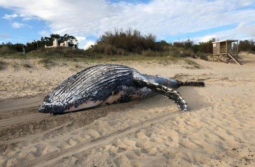 Trovata un'enorme balena morta in mezzo alla spiaggia, è allarme