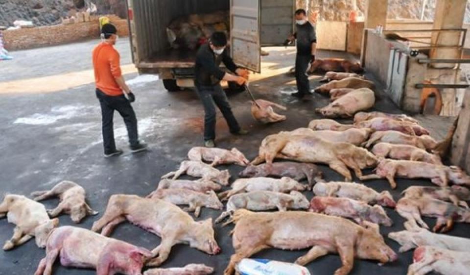 Peste suina: in Cina è strage di animali