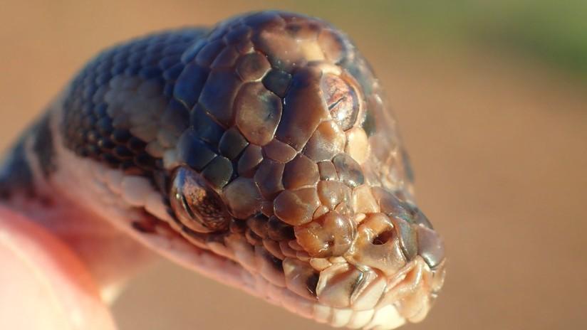Serpente a tre occhi scoperto in Australia