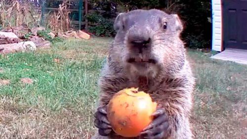 Telecamere per scovare ladri di frutta: scopre una marmotta