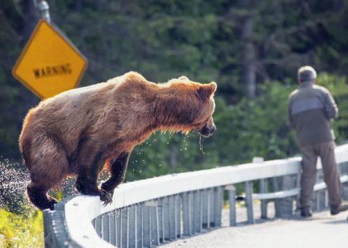 Natura: record di attacchi di orsi. Oltre 600 casi in pochi anni