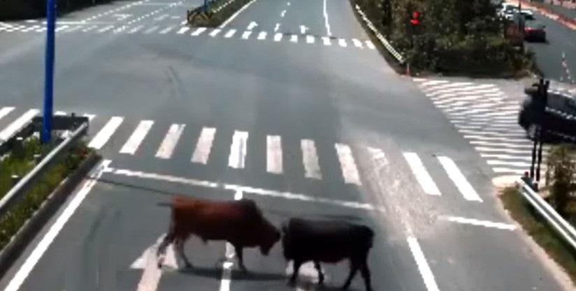 Cina: due tori vaganti si scontrano davanti alle auto