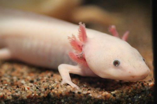 Gli uomini possono rigenerare le estremità come le salamandre