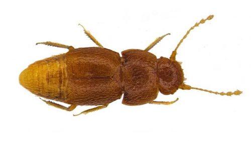 Natura: uno scarafaggio dedicato a Greta Thunberg