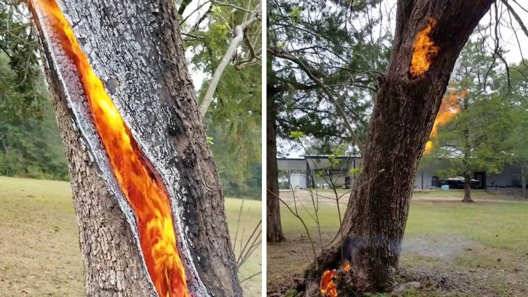 Albero brucia dall'interno dopo la caduta di un fulmine