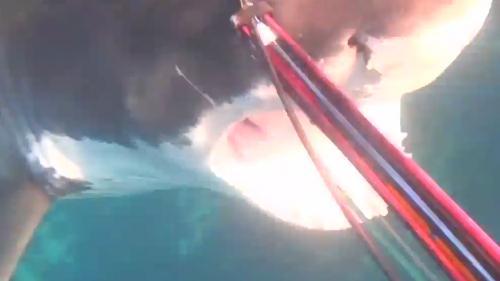 Australia: squalo di oltre 4 metri attacca sub. Il video