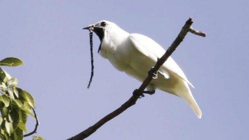 Procnias albus, l'uccello più rumoroso al mondo. Il video
