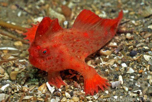 Pesce che cammina: il rarissimo Red Handfish. Il video