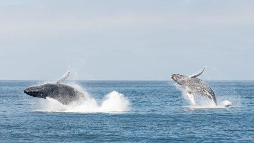 Terremoto scuote la California: le balene saltano dall'Oceano