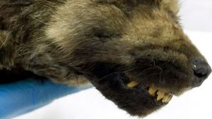 Cucciolo di 18mila anni in perfette condizioni. La scoperta in Siberia