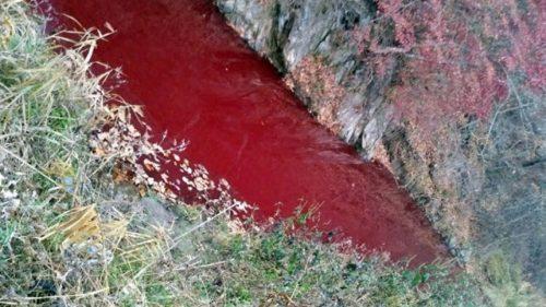 Corea del Sud: allarme peste suina. Il fiume si tinge di rosso sangue