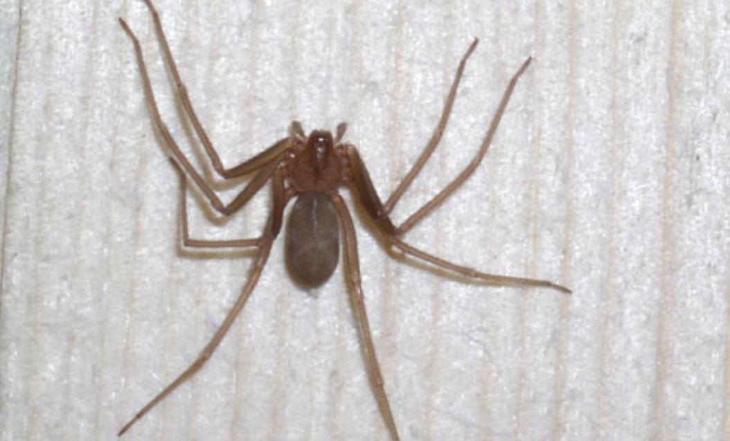 """Trovano un ragno sotto il divano e chiamano i vigili del fuoco: """"E' troppo grosso"""""""