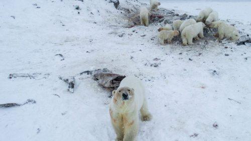 Siberia: oltre 50 orsi polari invadono un villaggio. Il video