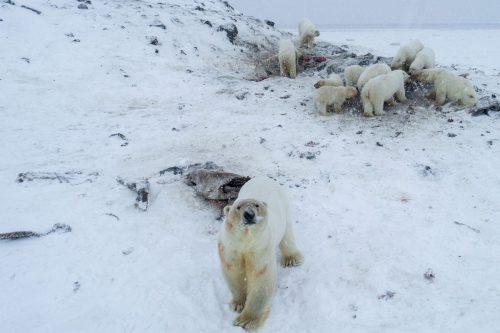 Russia, oltre 50 orsi polari affamati invadono un villaggio