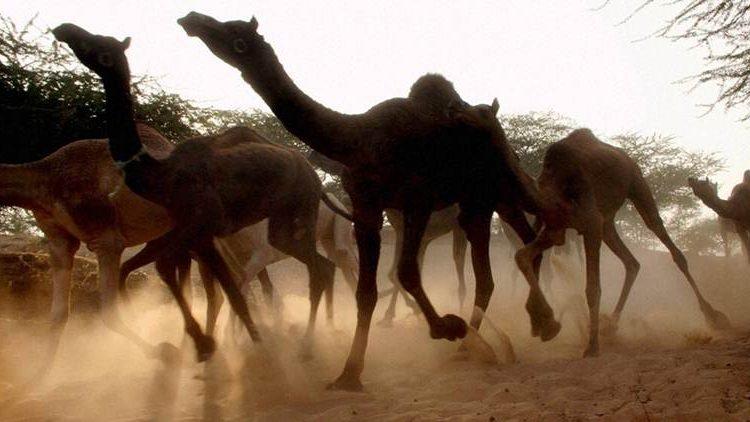 Australia: cammelli assetati seminano il caos. Decretato l'abbattimento