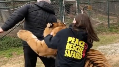 Fotografo aggredito da un ligre durante un safari: il video