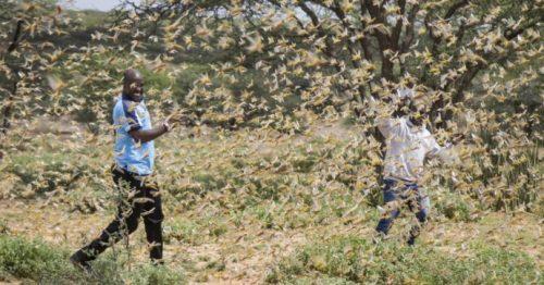 "Invasione di locuste devasta i campi del Kenya: ""Mai così grave"""