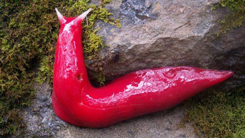 Australia: la lumaca rosa salvata miracolosamente dall'estinzione