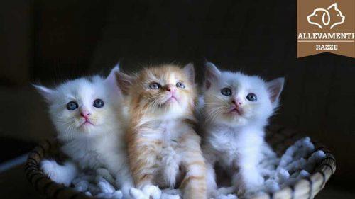 Come trovare un allevamento di Gatti di Razza