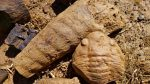 """Scoperto in Spagna un """"raro fossile marino"""" di 465 milioni di anni fa"""