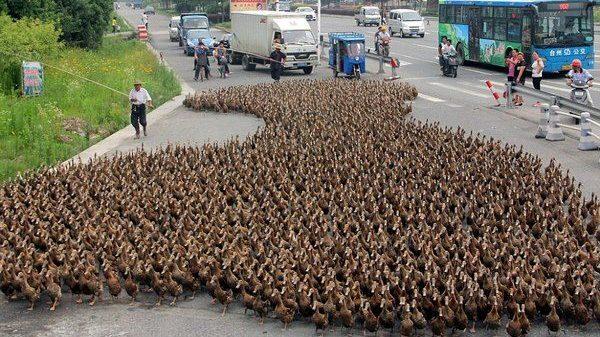 Cina: truppe di anatre contro l'invasione delle locuste