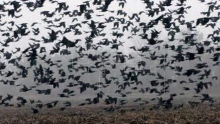 Cina: stormo di corvi sulle città del Coronavirus. Paura tra la popolazione