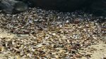 Nuova Zelanda: mezzo milione di cozze muoiono per il caldo