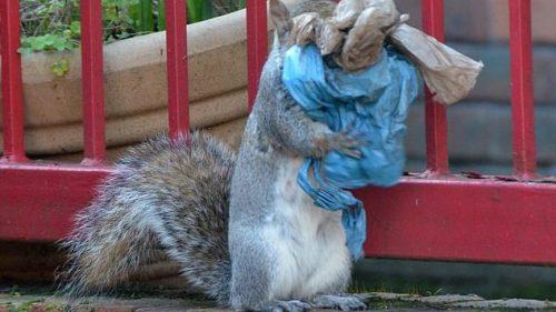 Londra: gli scoiattoli usano la plastica per costruire i nidi