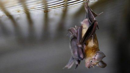Coronavirus: in Perù la popolazione uccide 300 pipistrelli