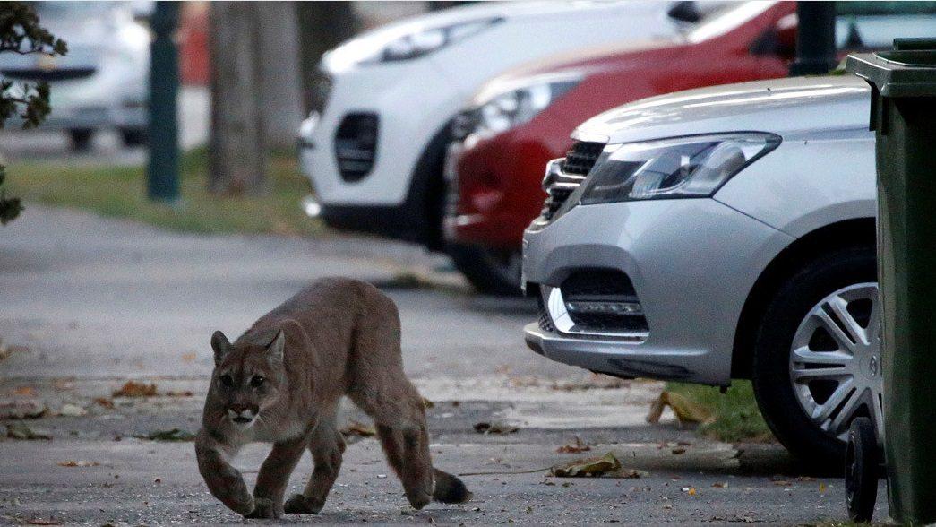Cile: un puma scende per le strade della città di Santiago