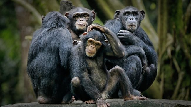 Coronavirus pericoloso anche per le grandi scimmie. La lettera degli esperti