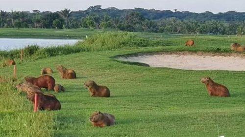Bolivia: decine di capibara invadono i campi da golf